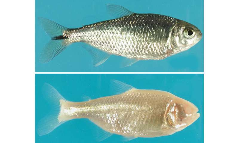Gene found that causes eyes to wither in cavefish