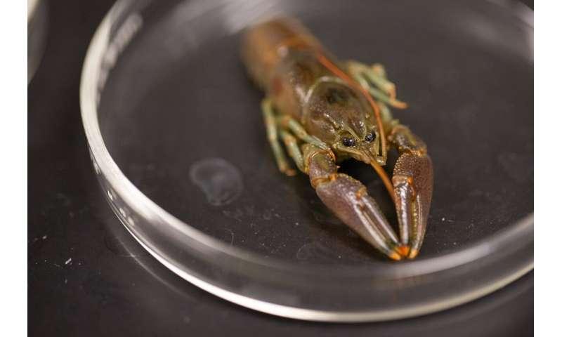 Generalist diet helps invasive crayfish thrive where it's introduced