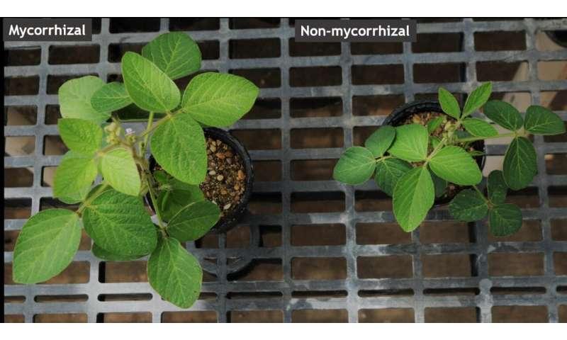 Descubiertos genes que controlan la colonización de micorrizas en la soja