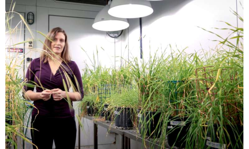 Genetic discovery sheds light on sodium accumulation in barley crops