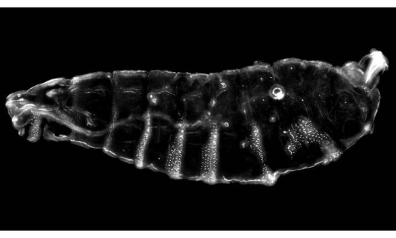 Geneticists pump the brakes on DNA, revealing key developmental process