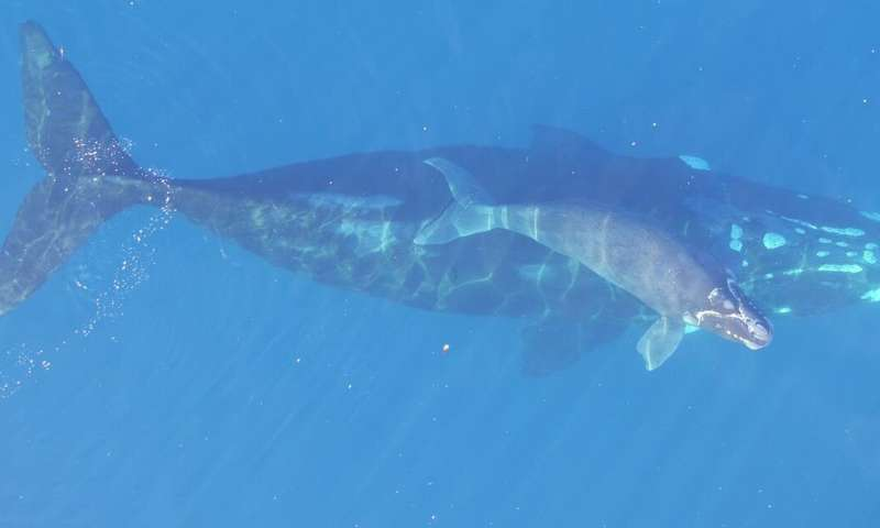 Genome and satellite technology reveal recovery rates and impacts of climate change on southern right whales