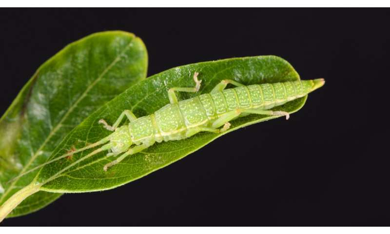 Genome-Mapping Reveals 'Supermutation' Resulting in Cryptic Coloration in Stick Insects