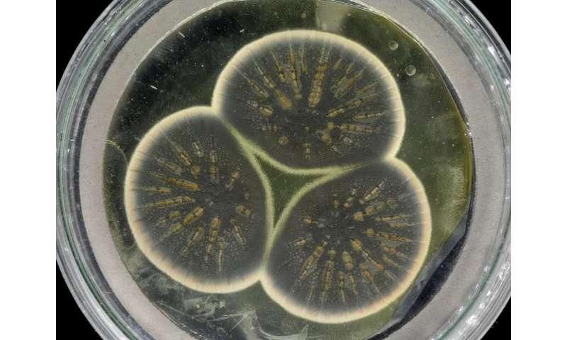 Genome of Alexander Fleming's original penicillin-producing mould sequenced
