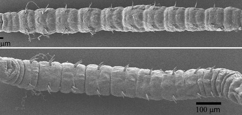 Ghost worms mostly unchanged since the age of dinosaurs