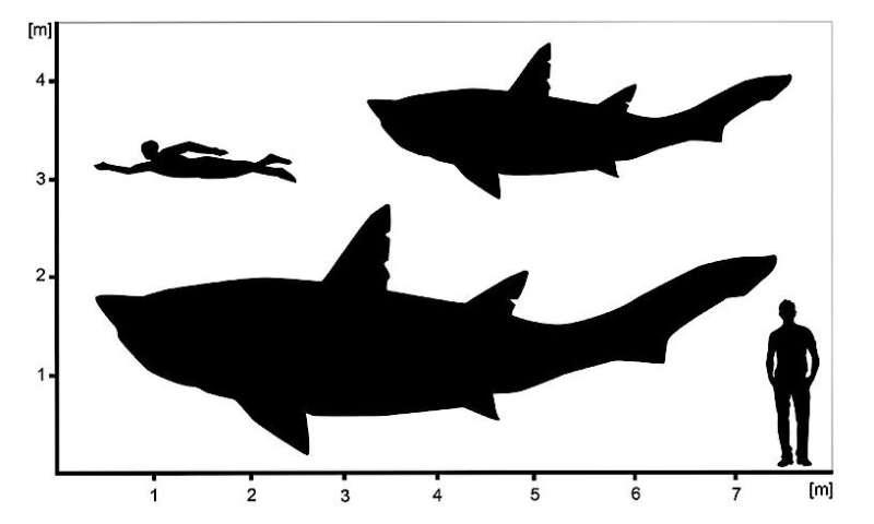 Giant teenage shark from the dinosaur era
