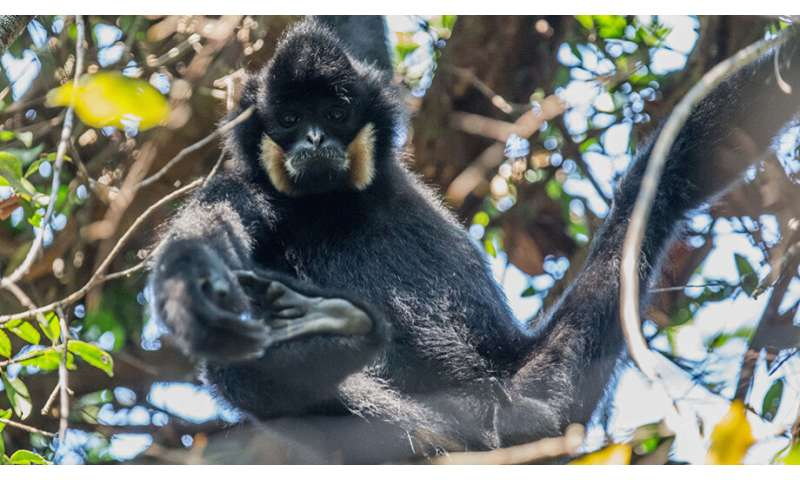 Gibbons need protection from COVID-19, too
