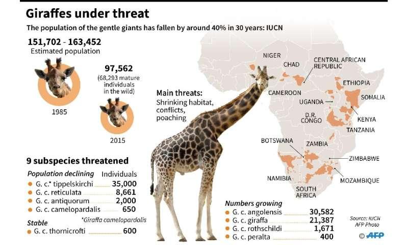 Giraffes under threat