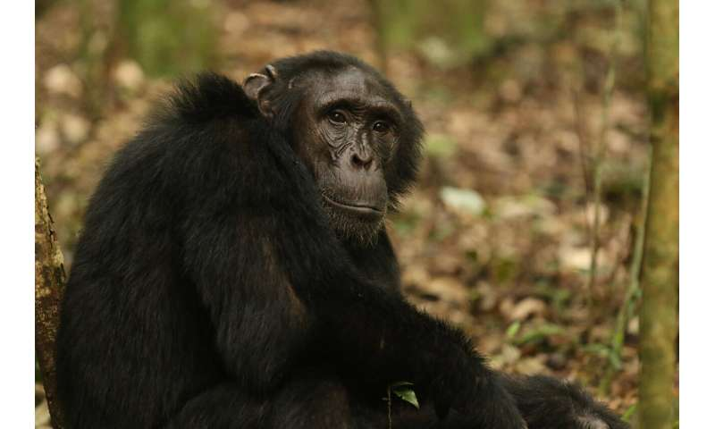 Glimpses of fatherhood found in non-pair-bonding chimps