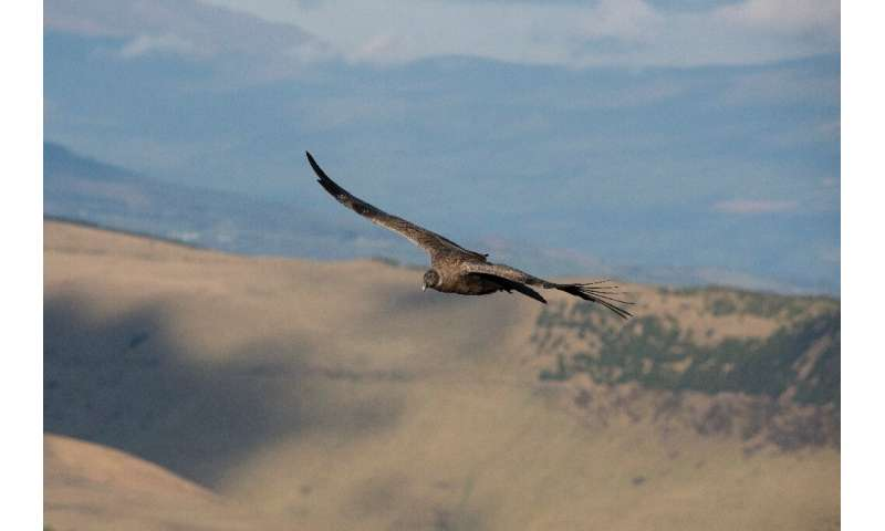 Globally, there are some 6,700 condors but numbers are declining