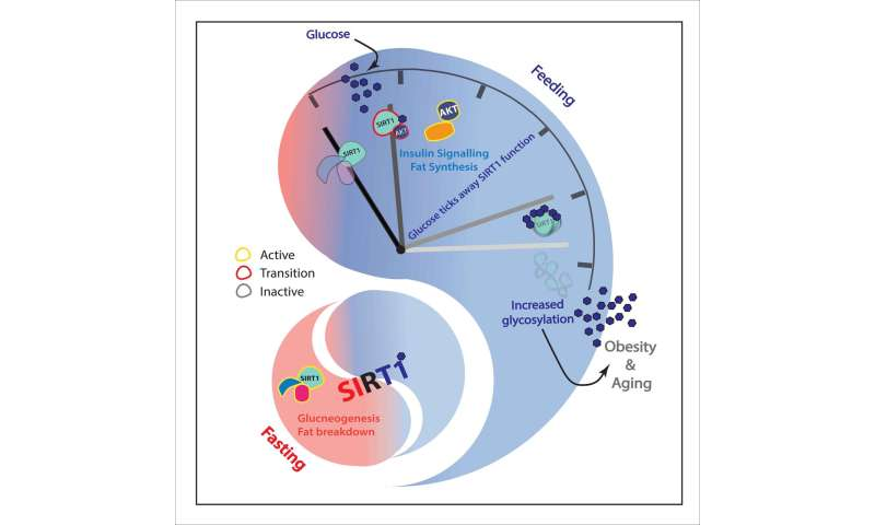Glucose acts as a double edged sword on longevity factor SIRT1