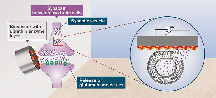 Glutamate in the brain has unexpected qualities, researchers show with a new analysis method