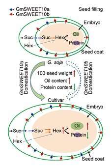 GmSWEET10a and GmSWEET10b coordinately regulate yield and quality