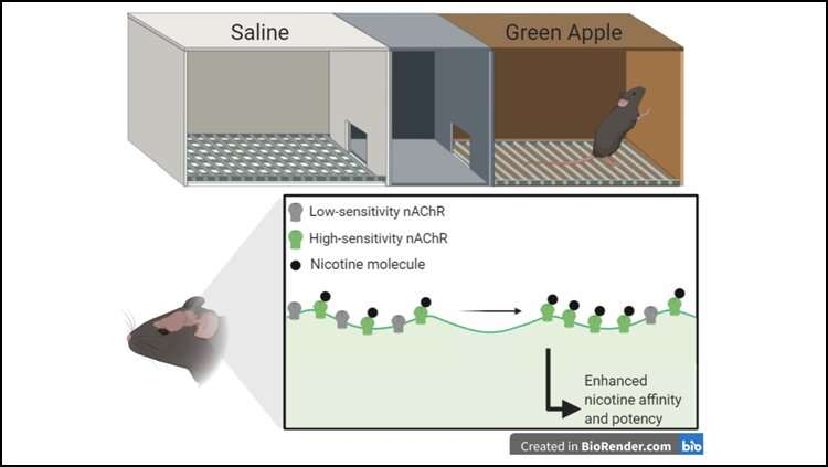 Green apple flavor in vapes enhances nicotine reward