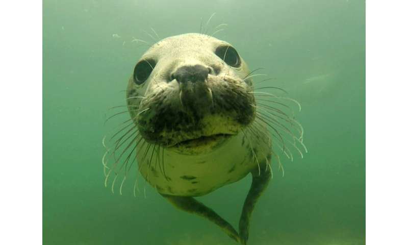 Grey seals discovered clapping underwater to communicate