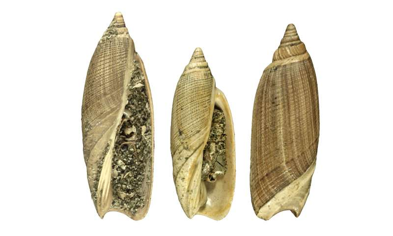 Gulf coast mollusks rode out past periods of climate change