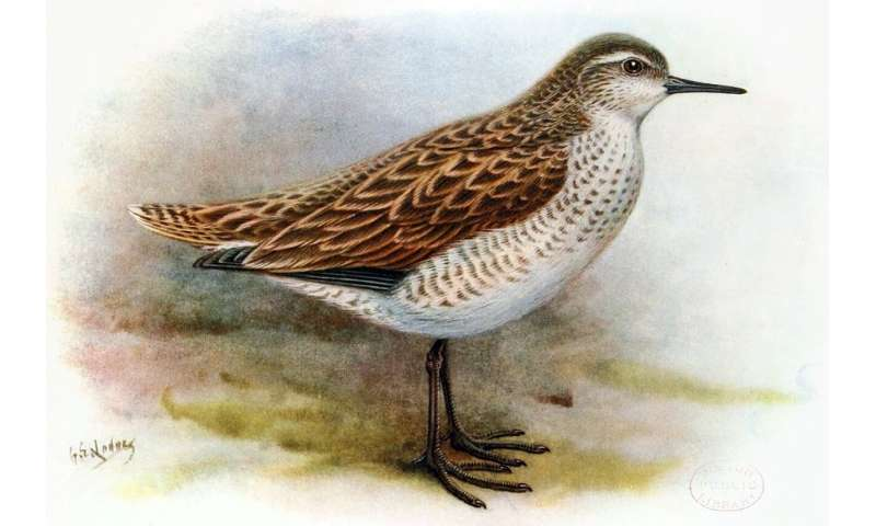 Henderson island fossils reveal new Polynesian sandpiper species