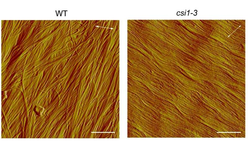 Herringbone pattern in plant cell walls critical to cell growth