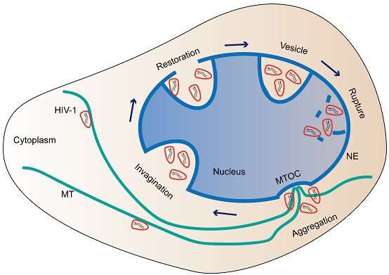HIV-1 viral cores enter nucleus collectively through nuclear endocytosis-like pathway