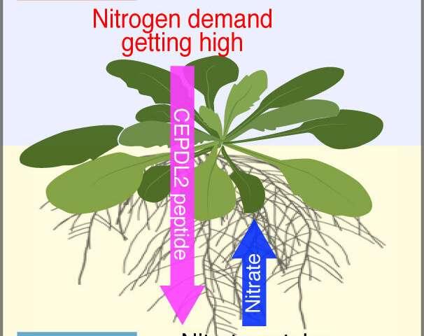 La hormona producida en las hojas hambrientas estimula a las raíces a absorber nitrógeno.