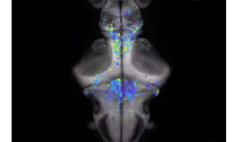 How decisions unfold in a zebrafish brain