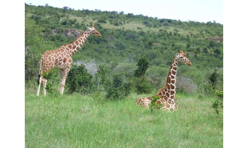 How do giraffes and elephants alter the African Savanna landscape?
