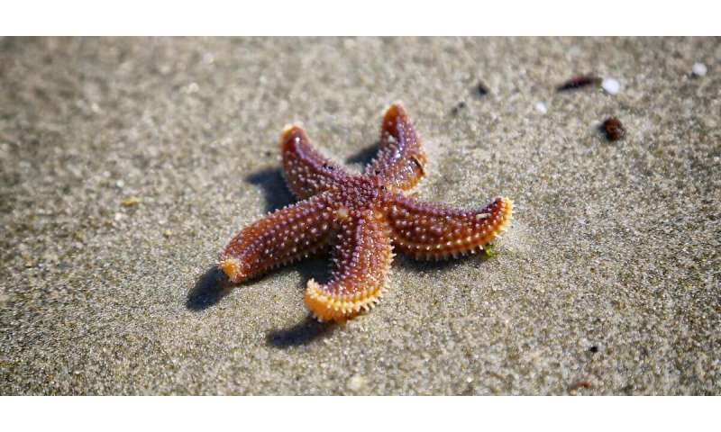 How do sea stars move without a brain? The answer could impact robotics and more