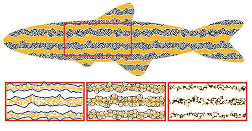 How do zebrafish get their stripes? New data analysis tool could provide an answer