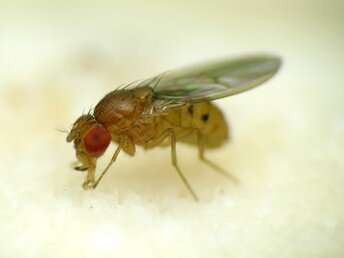 How fruit flies flock together in orderly clusters