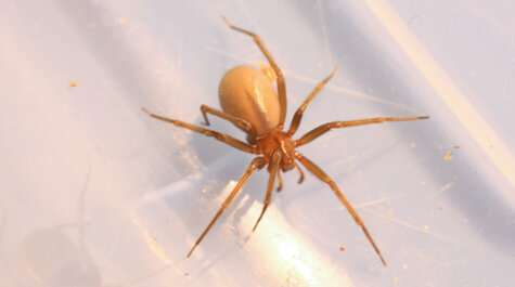 How is a brown recluse spider like a Samurai swordsmith?