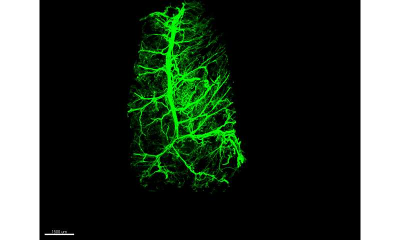 How neurons reshape inside body fat to boost its calorie-burning capacity