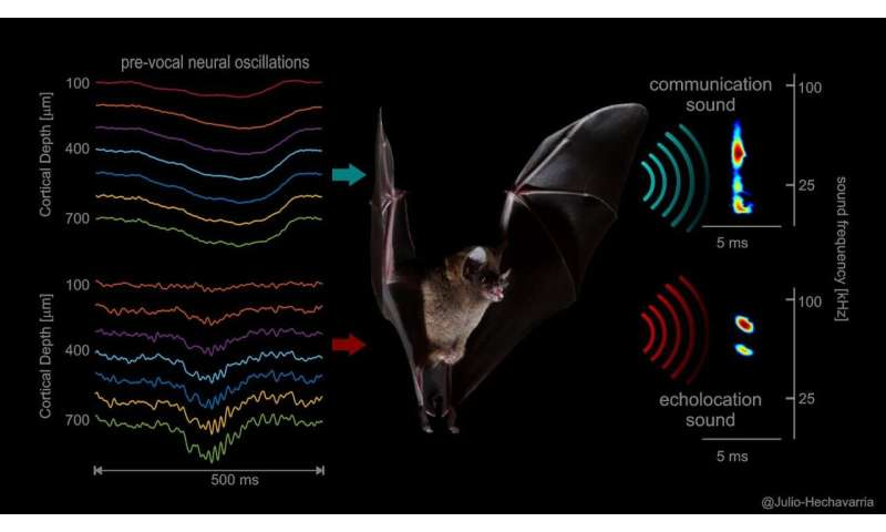 How the brain controls the voice