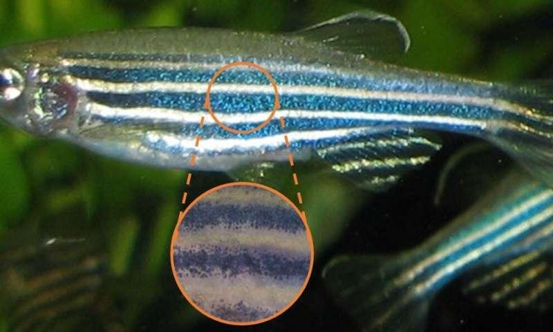 How the zebrafish got its stripes
