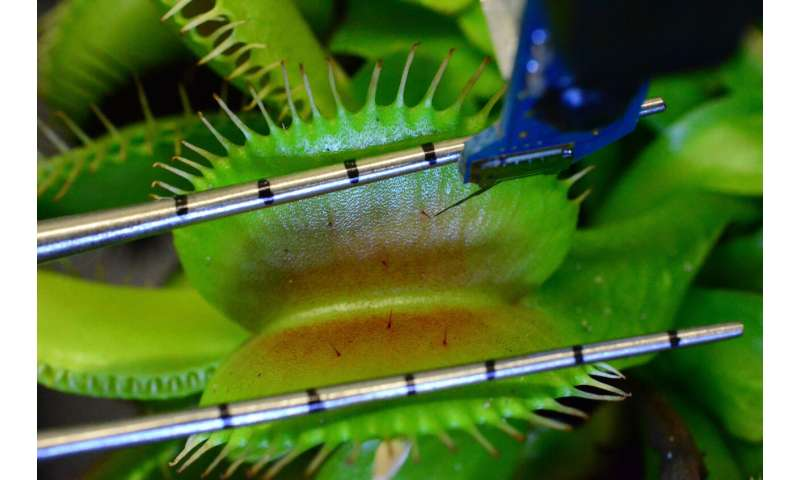 How Venus flytraps snap