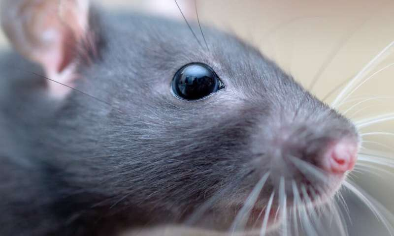 How we found a special maths equation hidden in rat whiskers