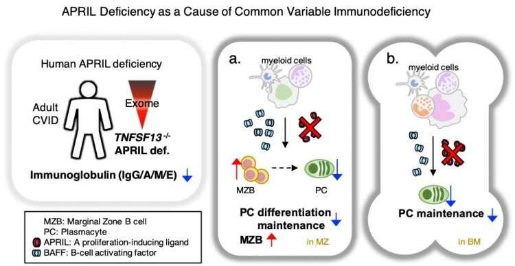 Human lifelong immunity depends on APRIL