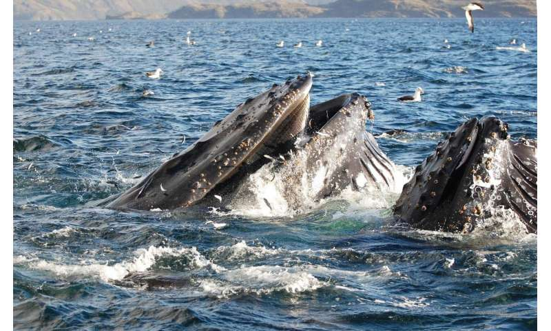 Humpback whales may risk collision with vessels in the Magellan Strait