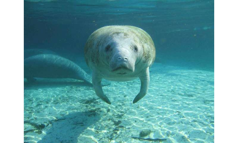 Ice Age manatees may have called Texas home