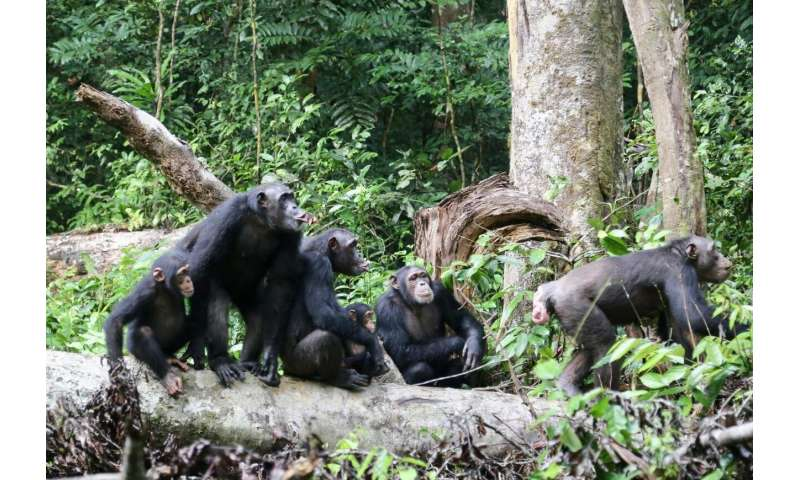 In chimpanzees, females contribute to the protection of the territory