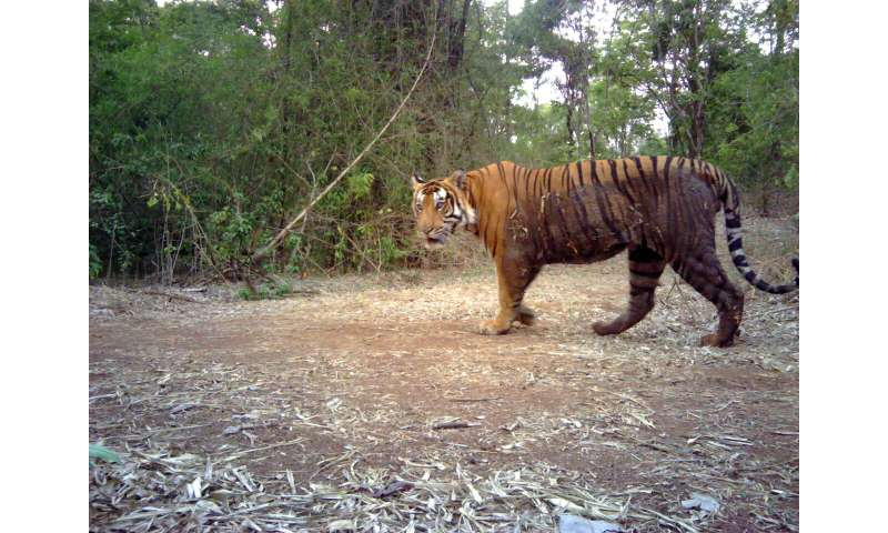 Indian authorities admit to flaws in tiger counts after criticism