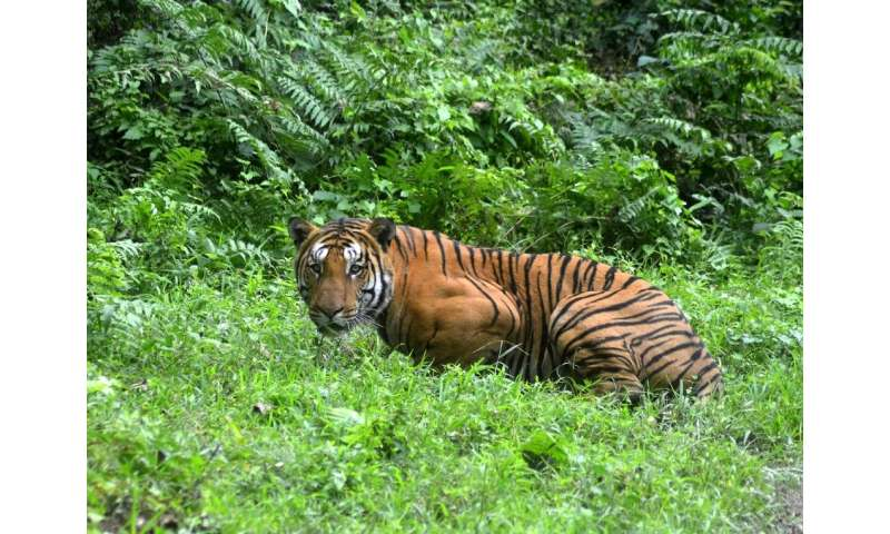 India now has around 3,000 tigers in the wild, compared to 1,411 in 2006 when a nationwide survey was first conducted