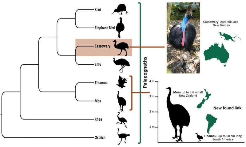 Inside story on cassowary evolution