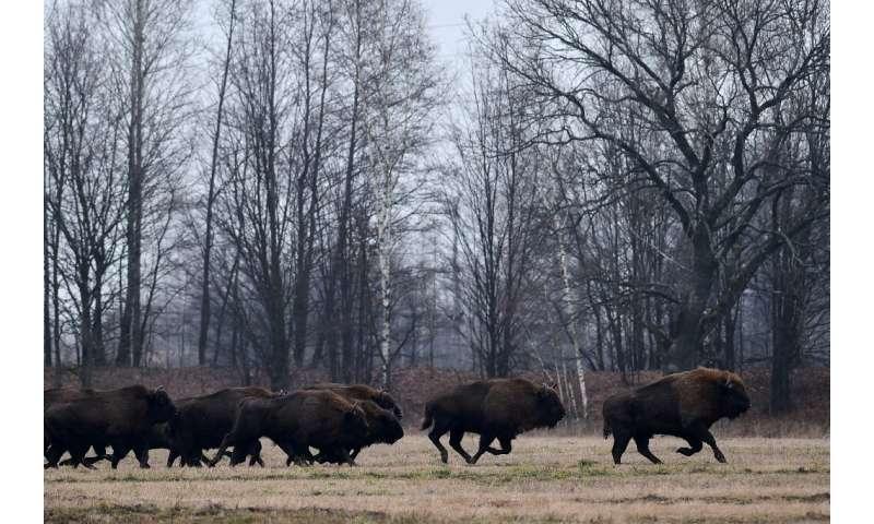 Los intensos esfuerzos de conservación han ayudado a que la población de bisontes creciera de alrededor de 1.800 individuos en 2003 a más de 6.200 l