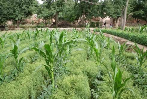 Intercropping can significantly increase yields in agriculture while reducing the use of fertilisers