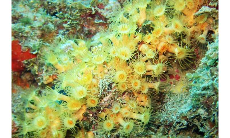Is it one or two species? The case of the cluster anemones
