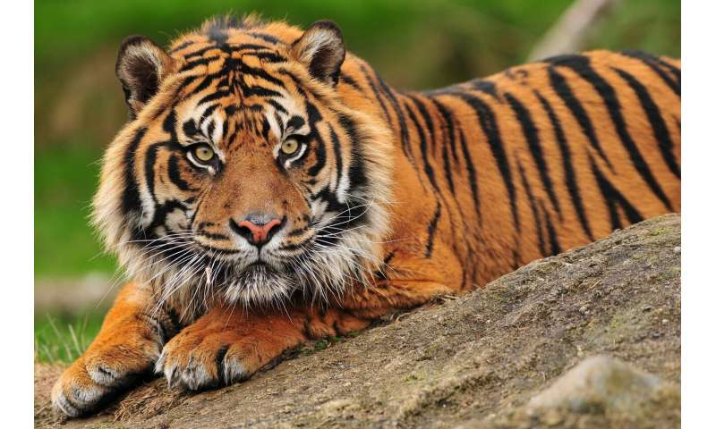 I spy with my digital eye… a tiger's breathing, a lion's pulse
