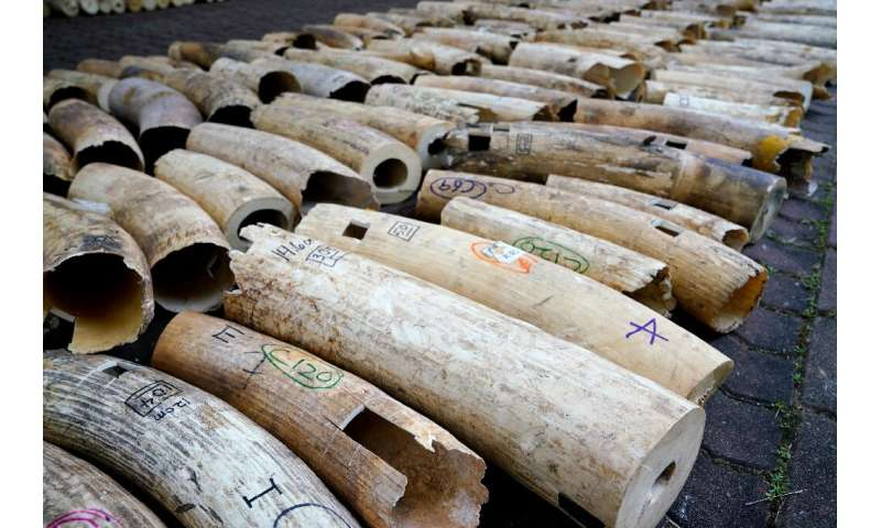 It will take three to five days for all of the ivory to be cruched