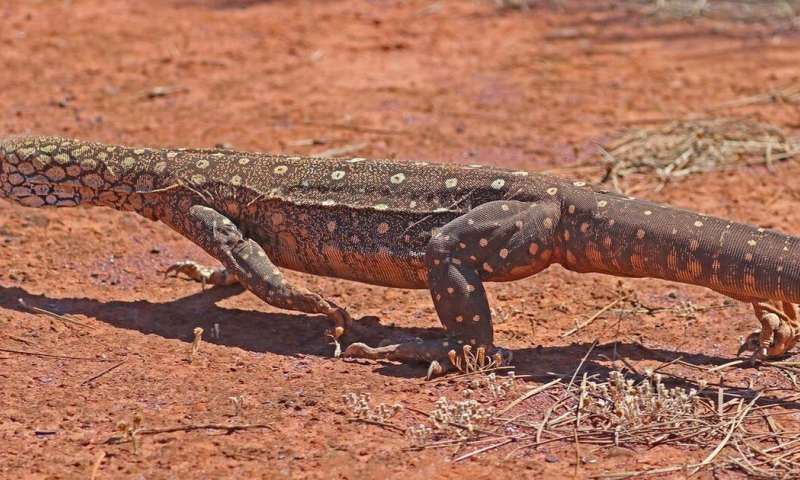 I walked 1,200 km in the outback to track huge lizards—here's why