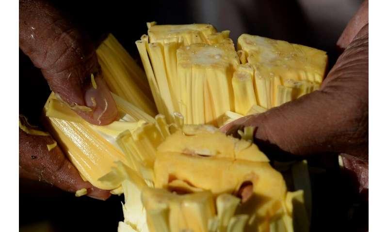La yaca, que pesa cinco kilogramos (11 libras) en promedio, tiene una pulpa de color amarillo ceroso cuando está madura y se come fresca, o se usa t