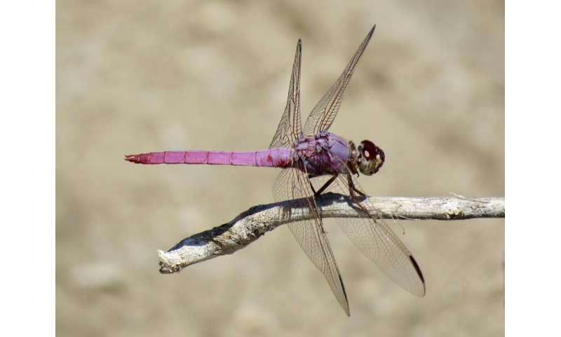 Just add water: Biodiversity resurgence in effluent-fed desert riverbeds